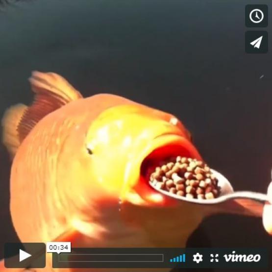 Pêcher la carpe koi